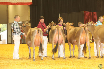 WDE Jersey Intermediate Cows16