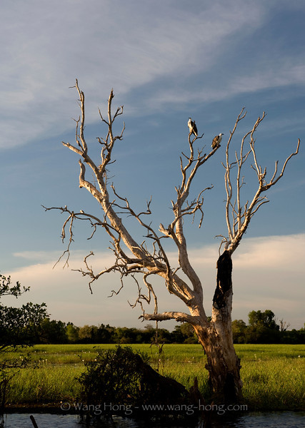 Wistle eagles at Yellow Water in late afternoon, Kakadu National Park, Northern Territory.