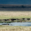 Hippos and Hayenas in Ngorongoro Crater