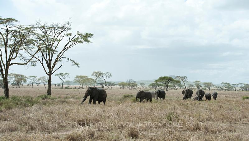 Elephants roaming in the savannah landscape in Serengeti