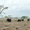 Elephants roaming in the savannah landscape in Serengeti