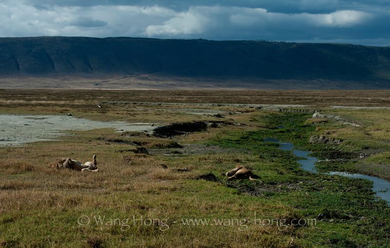 Lions enjoying a siesta in Ngorongoro Crater