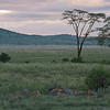 Lions in Serengeti National Park at sunset.