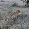 Lions and cubs in Serengeti at sunset.