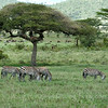 Zebras, lions, and wildebeests in Serengeti National Park, northern Tanzania