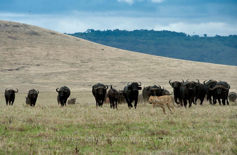 Buffalos chasing away a lion in Ngorongoro Crater