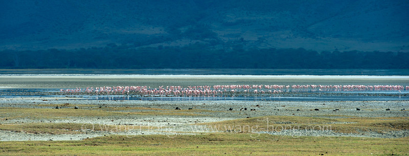 Minor flamingos by salt lake in Ngorongoro Crater