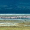 Minor flamingos by salt lake in Ngorongoro Crater