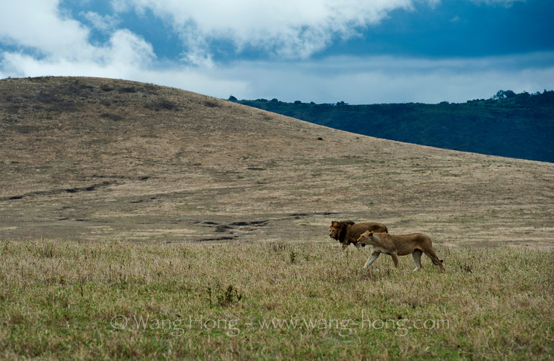 Lion and lioness marching in Ngorongoro Crater