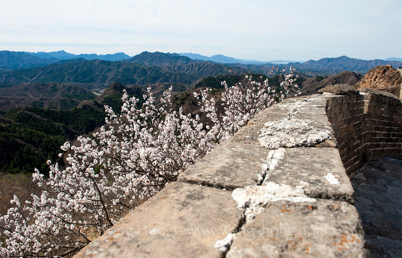 Peach flowers blooming all over the hills around the Great Wall (Jinshanling), on April 2, 2016.