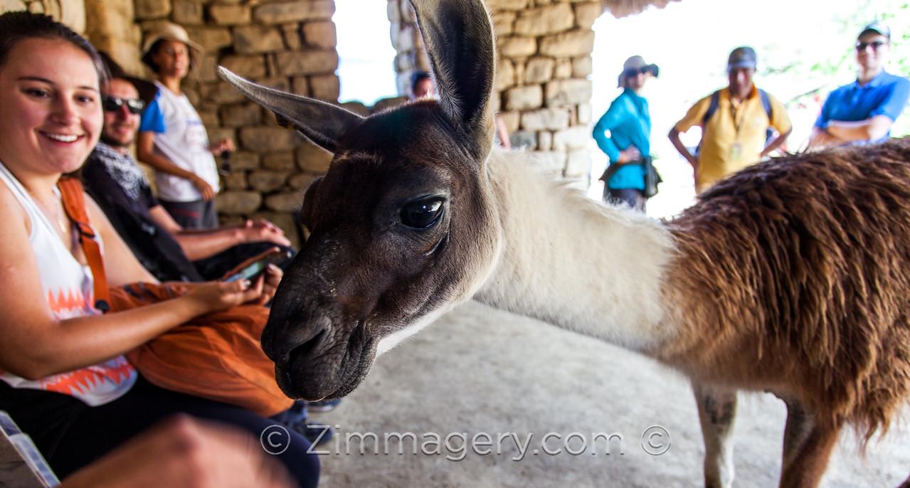 Llama with Tourists, Machu Picchu Peru