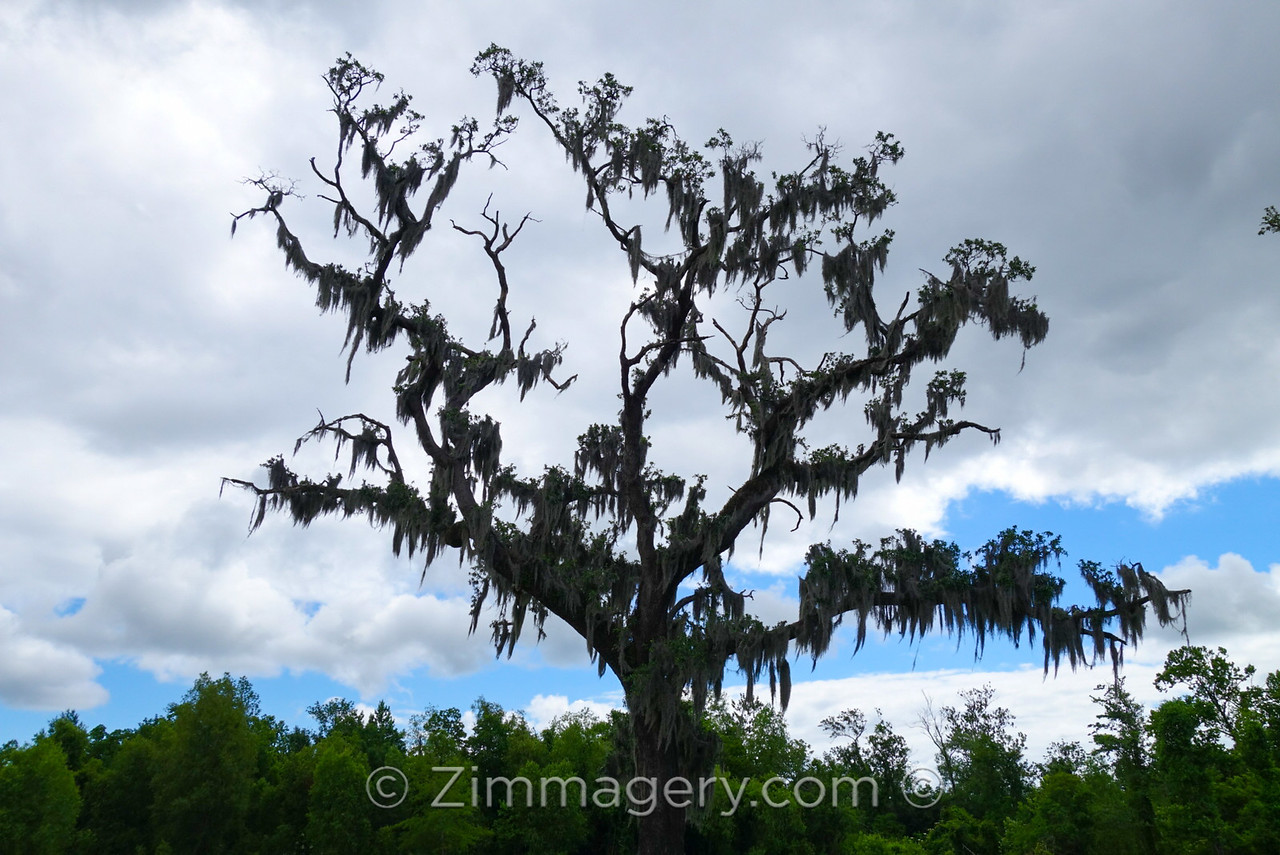 Swampy Tree, New Orleans, Louisiana
