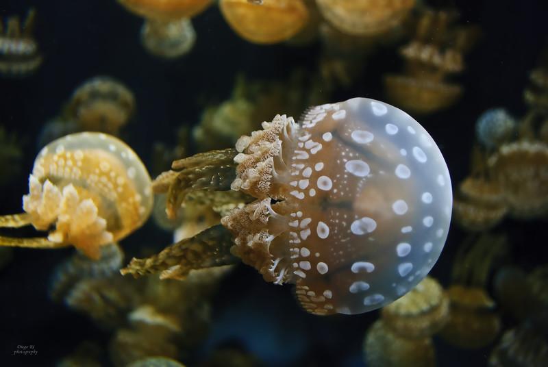 Jellyfish Swimming Right