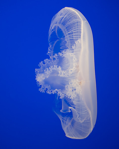 Opened Jellyfish