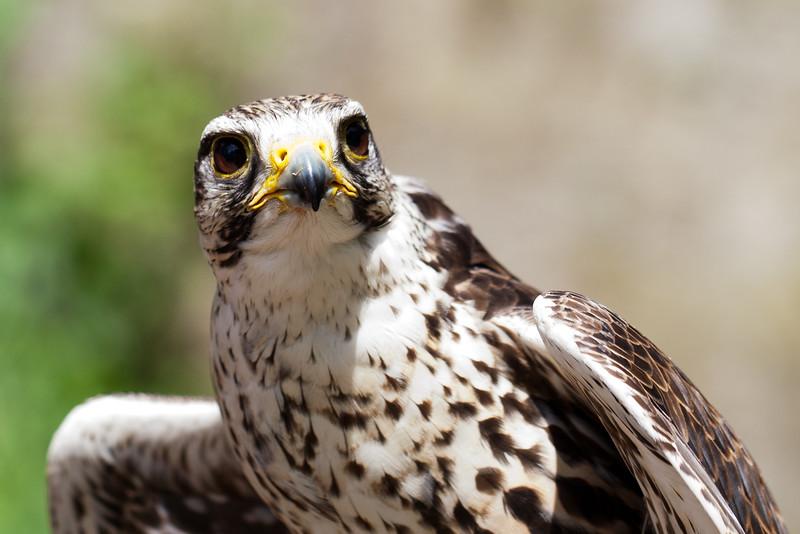 Falcon Show in