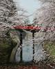 Hirosaki bridge2<br /> <br /> cherry blossom festival