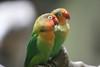 Love Birds <br /> Taken at the Ueno Zoo in Tokyo, Japan