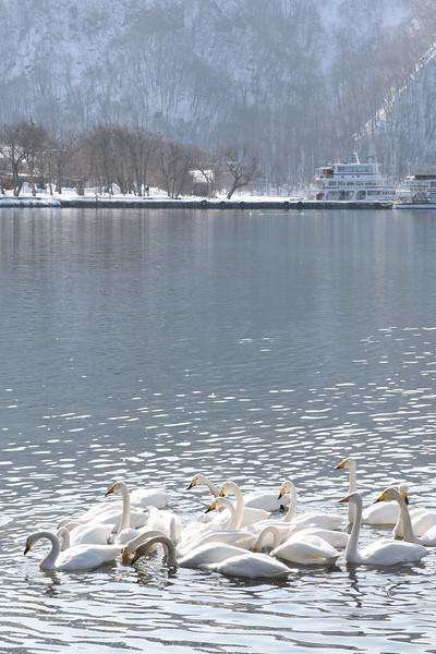 Lake Towada Swans