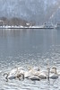 Lake Towada Swans