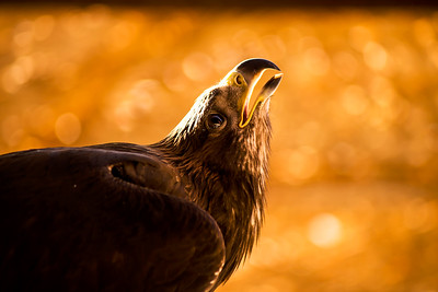 Eagle at the border between Iraq/Kurdistan and Iran