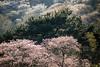 SouthKorea_Busan_cherryblossom_Marialangen_4337