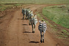 NGORONGORO 2007-12-13 Zebras on the road in the Ngorongoro crater in Tanzania Photo Maria Langen / Sverredal & Langen AB