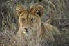 SERENGETI 2007-12-17<br /> Wild life in Tanzania<br /> Photo Maria Langen / Sverredal & Langen AB