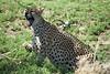SERENGETI 2007-12-17<br /> Wild life cheetah in Tanzania<br /> Photo Maria Langen / Sverredal & Langen AB