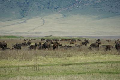 NGORONGORO 2007-12-13 Buffalo view in the Ngorongoro crater in Tanzania Photo Maria Langen / Sverredal & Langen AB