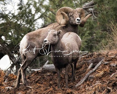 World Record Ram and Ewe