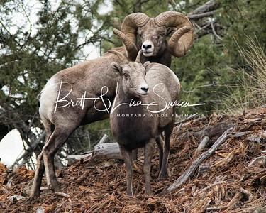 World Record Ram and Ewe #2