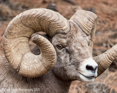 Side Portrait-World Record Ram