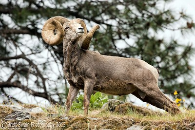 Springtime Ram #2-World Record