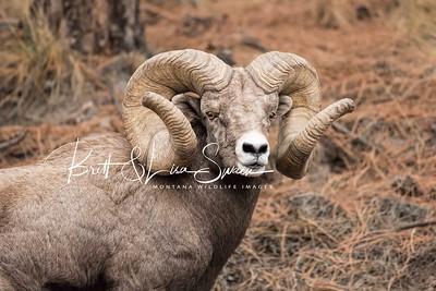 World Record Ram Portrait