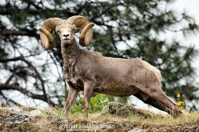Springtime Ram-World Record