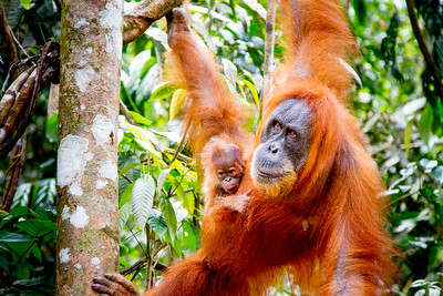 Sumatran Orangutan (Pongo abelii) with very young baby, Gunung Leuser National Park, Sumatra, Indonesia