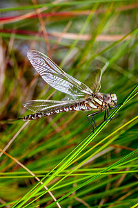 Common Hawker Dragonfly-2.jpg