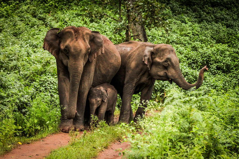 I was filming in Southern India... it was getting dark and we were heading back to camp when three elephants blocked the road. Rather than startle them we switched off the engine and waited... They moved closer and closer. The tiny calf was sandwiched between the colossal flanks of the two adults and it seemed pretty carefree as it swung its trunk around, occasionally resting its head against the side of one of its guardians. It was a real privilege to see such intimacy. As they exchanged caresses, their trunks touching and stroking each other. We were lost in the moment. #EarthOnLocation #BBCEarth #EarthCapture #Elephant #India #Baby #Wildlife
