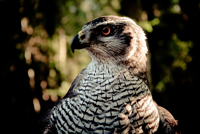 Ellie the Goshawk-1.jpg