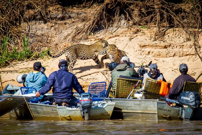 I was filming in the Pantanal of Brazil... Early one morning we spotted four jaguar close together - a female and three large, but immature, males. We kept our distance and slowly pulled up on the opposite bank to wait. The air was electric, we were tense with anticipation. The jaguar started fighting. It was something that we could have only dreamed of filming. Unfortunately, as soon as we started rolling several boats came on the scene and blocked our view of this rarely observed behaviour. To me, the boats were too close, and the jaguar didnt stick around long. Everyone has the right to experience nature and wildlife, but we must always consider boundaries to ensure that the welfare of the wildlife is paramount. #BBCEarth #EarthOnLocation #Jaguar #Filming #Pantanal #Tourism #TooClose #BigCat #Fighting