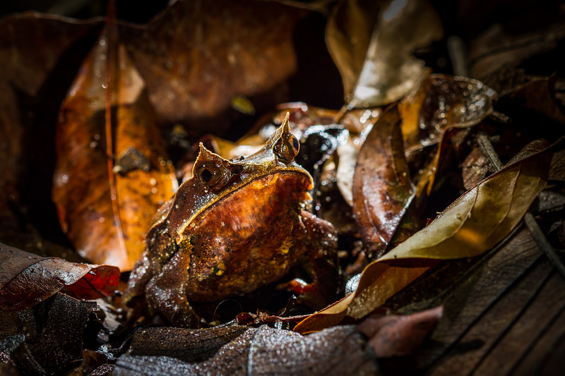 Malayan Horned Toad - a most magnificent animal