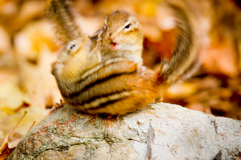 Eastern chipmunks (Tamias striatus), fighting, Autumn, New England, USA