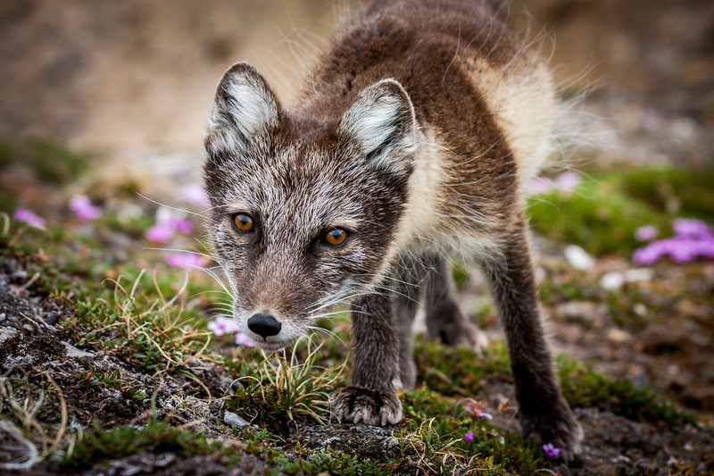 I had been camping in a remote valley on the Arctic island of Svalbard for several weeks. As the season warmed and the flowers started to bloom, I noticed a young Arctic fox becoming more and more inquisitive. One day as I sat eating my lunch he curiously approached me. I grabbed my camera, which had a 300mm lens attached but by now he was too close to frame up. As I slowly moved back I took this shot before he dived for my lunch and ran off with a cheese sandwich. #Svalbard #Arctic #Fox #Curious #Wildlife #Nature #BBC #EarthOnLocation #Tundra