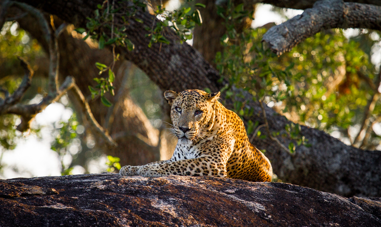 IVAN - THE WORLDS BIGGEST WILD LEOPARD! Yala in Sri Lanka is home to the worlds biggest leopards (Panthera pardus kotiya, IUCN Threatened), and the densest population. With no other big cats to compete with they are much bolder than elsewhere in the world and can regularly be seen in the daytime. On this occasion we spotted a leopard that is believed to be the biggest in the world - nicknamed as 'one eyed Ivan', his missing eye made him appear much more threatening than any other leopard I'd ever seen. #Leopard #Yala #SriLanka #Cat #Wildlife #BBC #EarthOnLocation