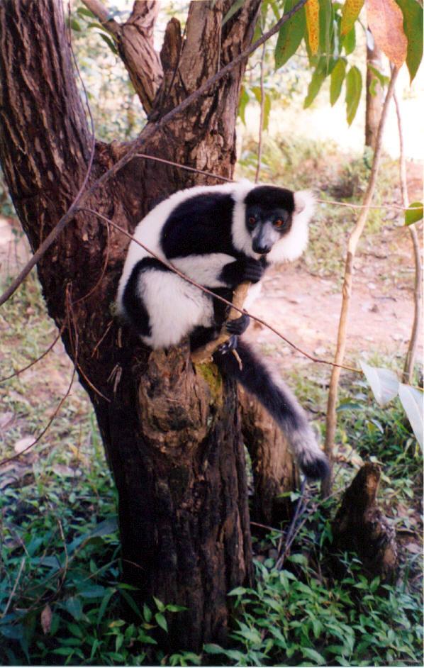 04 Tame lemur