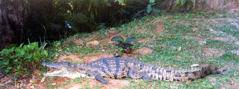 09 Crocodile