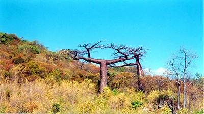 20 Baobabs