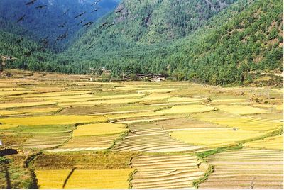 Rice fields (Paro)