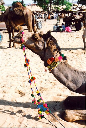 01 Famous Pushkar Camel Fair