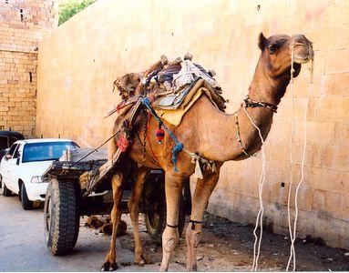 11 Camel in Jaisalmer